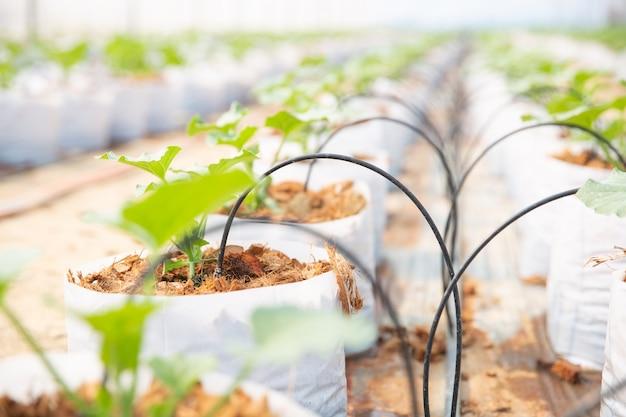 温室内での若いメロンの成長