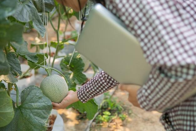 Женский научный сотрудник, специалист по сельскому хозяйству. в теплице фермы исследования дыни