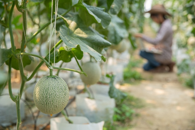 Исследователи растений проверяют эффекты канталупы.