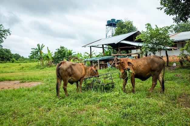 茶色の牛食べる草