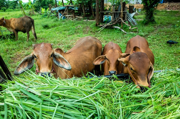 Коричневая корова ест траву