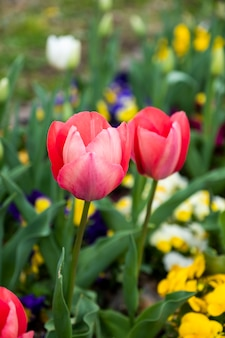 Заделывают красный тюльпан в саду