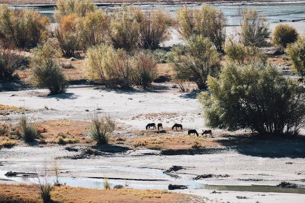 Лошадь в песчаном поле в лех ладакх, индия