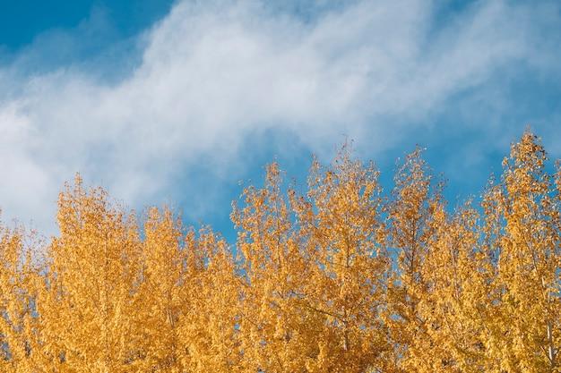 松の木とインド・ラダックの青い空の秋