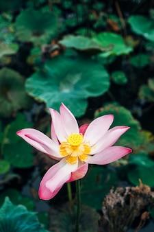 プール内のピンクの蓮