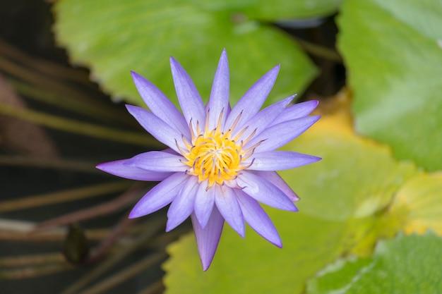 プールの美しい紫色の蓮