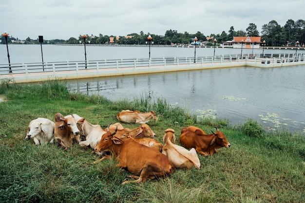 Коричневая корова сидит у бассейна