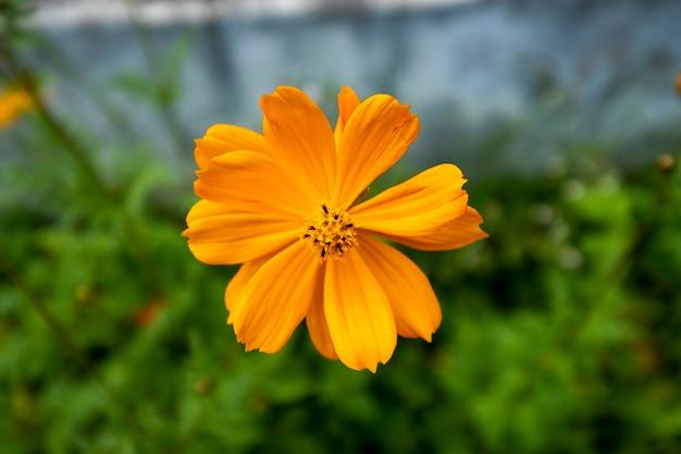 オレンジ色のコスモスの花