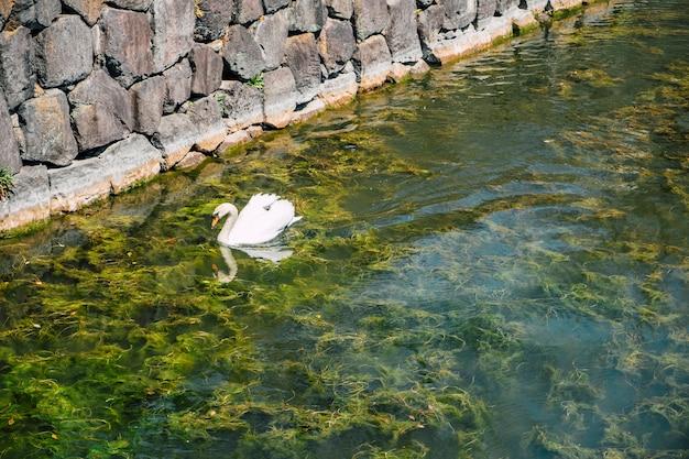 白鳥の湖で泳ぐ