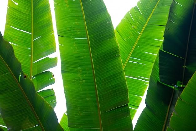 緑のバナナの葉、森の背景。