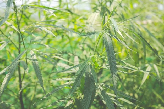 グリーンマリファナの背景。