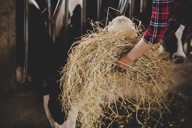 牧草地で牛のための干し草を扱う若い女性