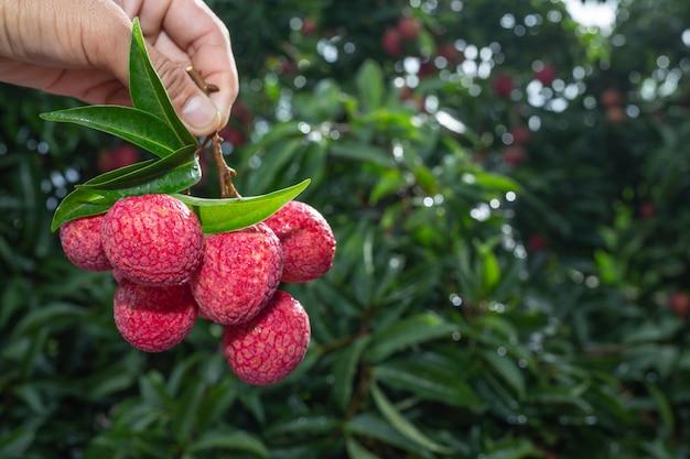 タイのライチ果実の農業