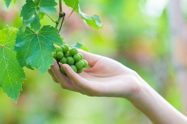 Женская рука трогательно винограда на дереве