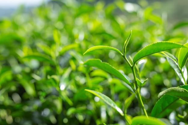 茶畑の緑茶葉の背景。