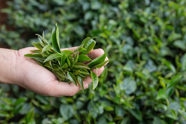 茶摘みの女性のアジアの手-クローズアップ、プランテーションでかなり茶摘みの女の子。