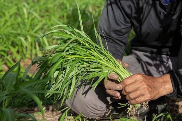 農家の手、野菜を手に持った女性、そして田んぼ。