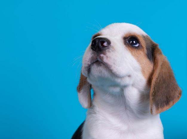 見上げるビーグル犬の子犬