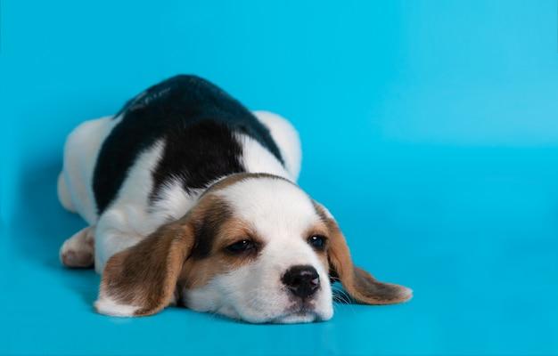 青色の背景に眠っているビーグル犬の子犬