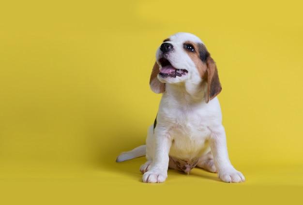 あくびしたビーグル犬の子犬は舌を見た