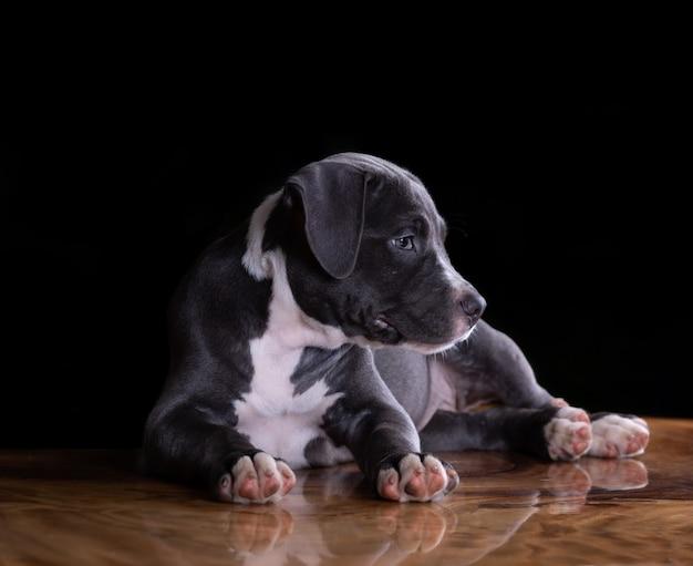 テーブルの上のアメリカンスタッフォードシャーテリア子犬