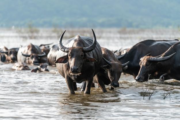 Буффало группа в реке