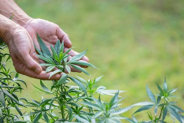 Растение каннабис
