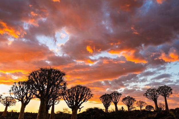 ナミビアのキートマンスフープの美しい空夕日夕暮れの空のシーンで矢筒の木の森のシルエットビュー。