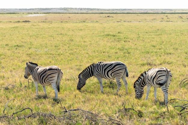 Стадо зебр ест стеклянное поле в национальном парке этоша, намибия