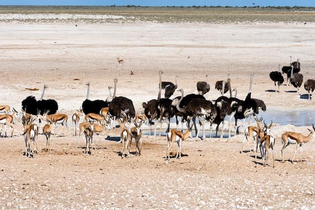 Страусы в естественной среде обитания в национальном парке этоша, намибия, южная африка