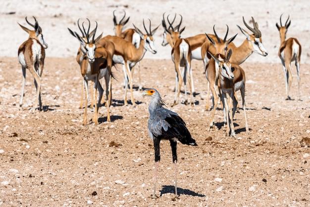 Военный орел в национальном парке этоша, намибия. большой орел родом из южной африки
