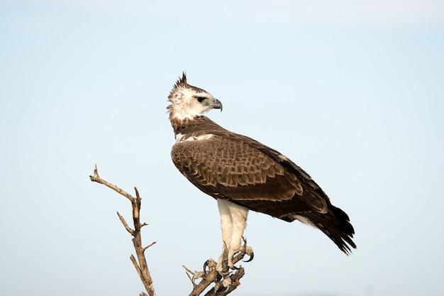 ナミビアのエトーシャ国立公園の武術のワシ。南アフリカに生息する大きなワシ