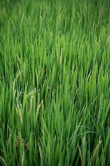 Закройте вверх желто-зеленых полей риса.