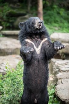 Азиатский черный медведь