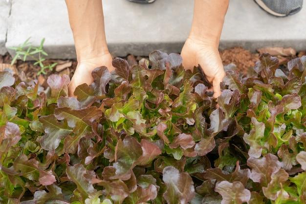 裏庭の庭から野菜を選ぶシニア大人カップル