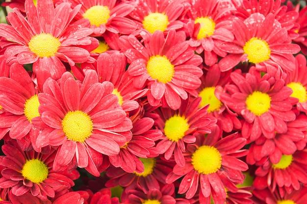 カラフルな赤い菊の花。