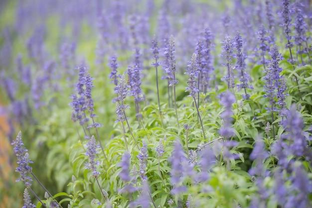 ルピナスの牧草地でルピナスの花のクローズアップ