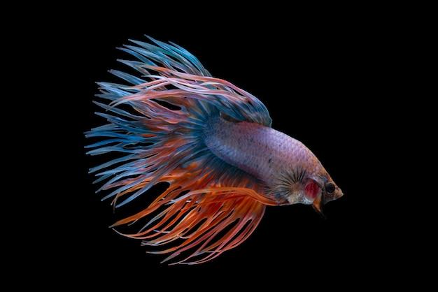 黒の背景にベタの戦いの魚。