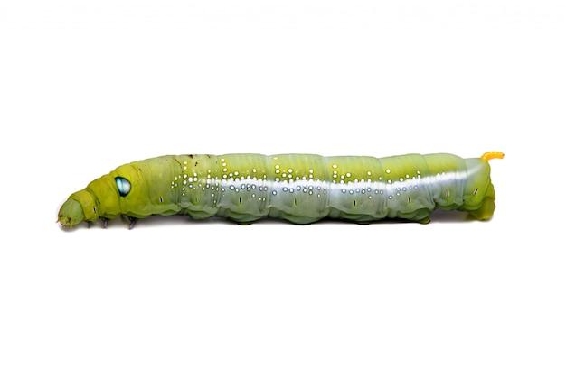 Зеленый червь