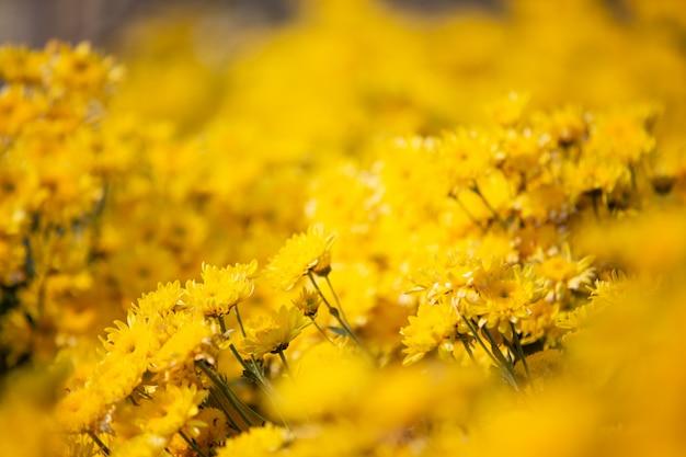 黄色い花の背景。