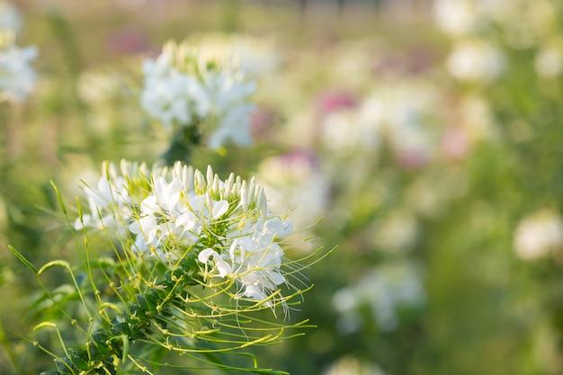 美しい白い花の背景。