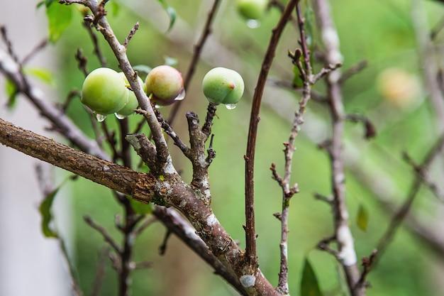 Свежий китайский персик на своем дереве