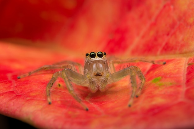 跳躍クモ捕食者自然生息地