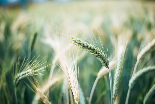 収穫前に大麦の穀物を閉じる