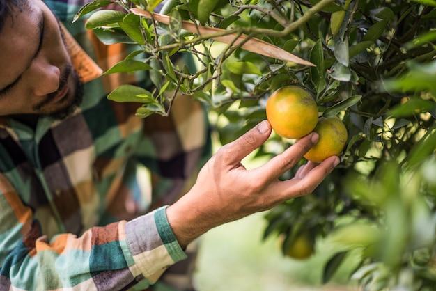 オレンジの木のフィールド男性農家の収穫オレンジ色の果物を選ぶ
