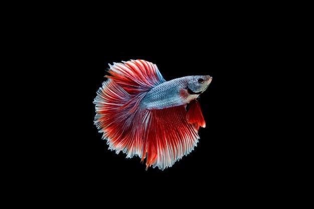 Красивая красочная сиамская рыба бетта