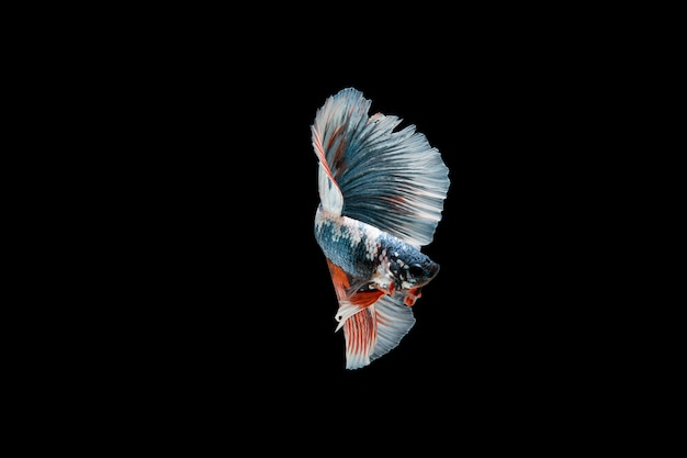シャムベタの美しいカラフルな魚