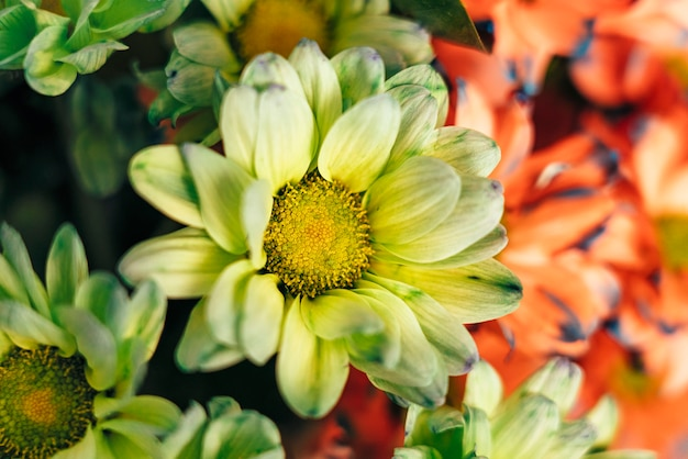 Цветок маргаритки конца-вверх зеленый желтый.