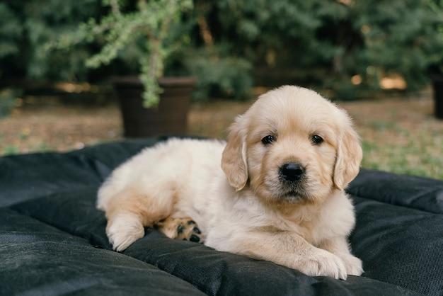 庭のベッドに横たわるゴールデンレトリバーの子犬の肖像画