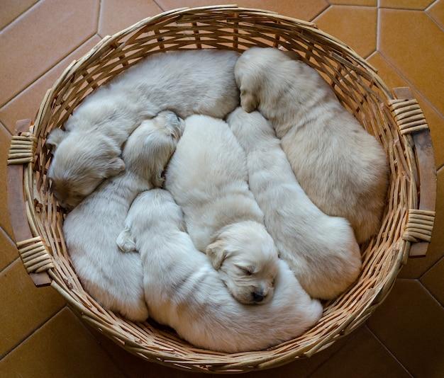Портрет помета очаровательных щенков или младенцев золотистого ретривера, спящих в плетеной корзине